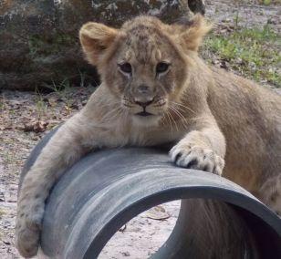 kulaqua retreat and conference center zoo lion cub images florida's best christian retreat location kulaqua