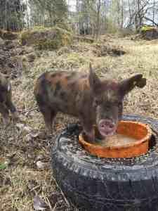 Linderödssvin