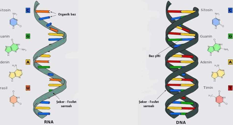 RNA Nedir?