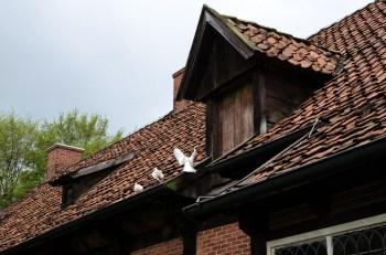 Weiße Tauben auf dem Herrenhaus Arkenstede, erbaut 1684, im Museumsdorf Cloppenburg. Foto: Wera Wecker