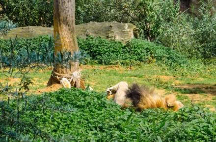 Zoom Erlebniswelt Gelsenkirchen: Afrika - Auf der Suche nach der großen Mietzekatze - gefunden! Räkelt sich in der Sonne.