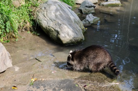 Zoom Erlebniswelt Gelsenkirchen: Alaska - Wo Waschbären herumtrollen.