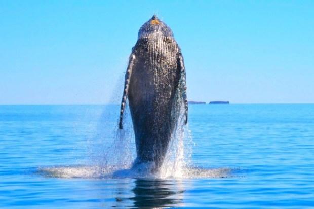Knølhvalen Valentina ble befridd fra et garn.  Etterpå viste hvalen sin glede, eller var det takknemlighet, over å være fri, ved å bryte overflaten  med gigantiske svev over 40 ganger i en time etterpå.
