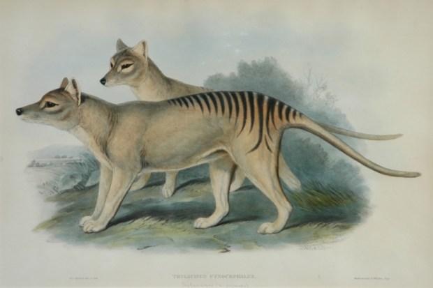 Tasmanian_tiger