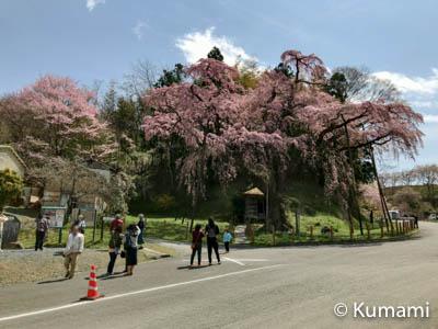 三春滝桜旅-3.地蔵桜と北寄