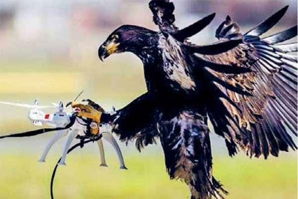 Elang Penangkap Drone Ilegal