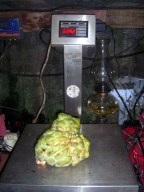 Sugar Apple at 3.92 lbs.