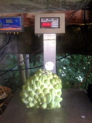 Atemoya 5.41 lbs.