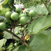 Solanum Torvum or Turkey Berry