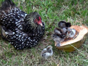 Momma hen with chicks in coconut