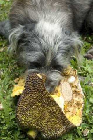 Our dog Dweezie eating his favorite fruit