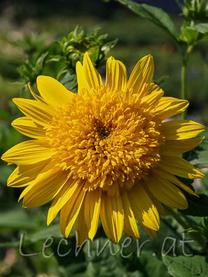 Sonnenblume Latein