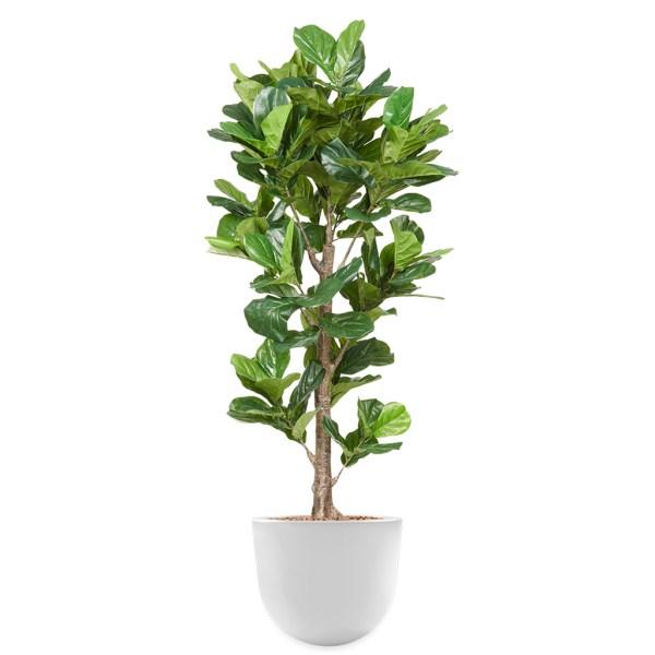 HTT - Kunstplant Ficus Lyrata in Eggy wit H200 cm - kunstplantshop.nl