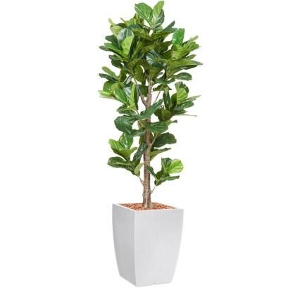HTT - Kunstplant Ficus Lyrata H195cm in Genesis43 wit - kunstplantshop.nl