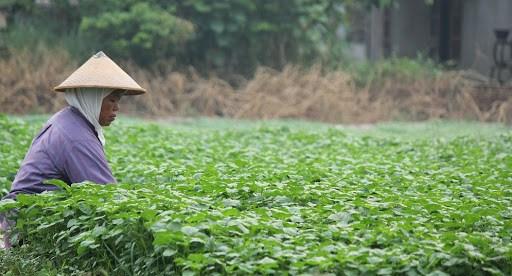 Petani sayur (stock)