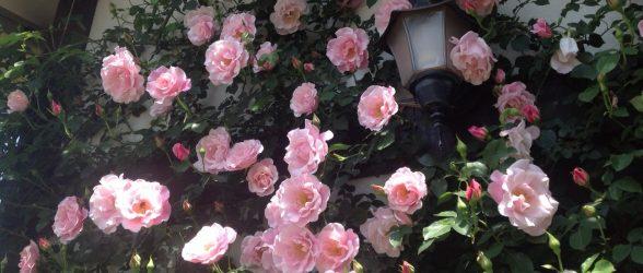 ピエールドロンサールのように咲く、スパニッシュビューティー