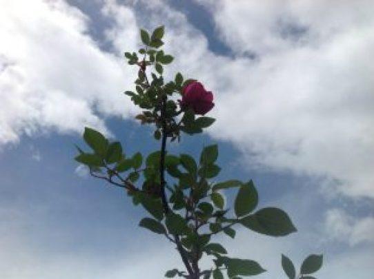 レストラン栗の里で一番の早咲き品種♪
