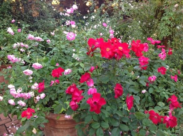 原種の色、赤や白、ピンクが綺麗なシーズン♪