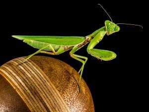 praying-mantis-220984_960_720
