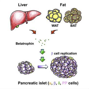 betatrophin_cell