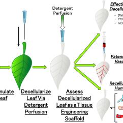 Portal Vasculature Diagram Ge Electric Stove Wiring Acceleratingintelligencenews Mobile Site Web For