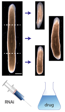 Planarian regeneration model discovered by AI algorithm