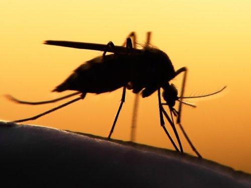 A szívférgesség terjesztője: a szúnyog (centrevilleanimalhospital.com)