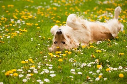 Golden Retriever (Fotó: dogingtonpost.com)