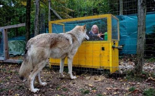 Jobban értik a farkasok az ok-okozati összefüggéseket a kutyáknál