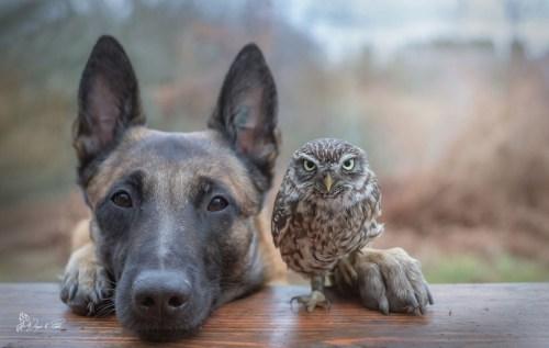 A belga juhászkutya és a bagoly (Fotó: Tanja Brandt)