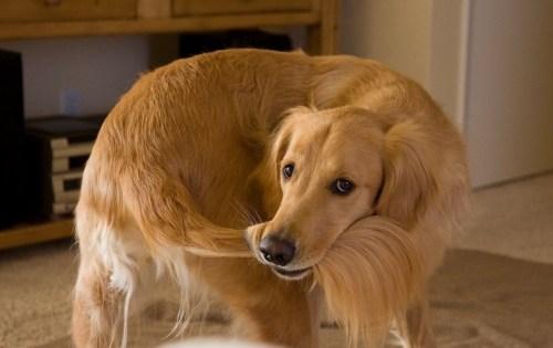 Betegséget is jelezhet, ha a kutya kergeti a farkát (Fotó: holidogtimes.com)