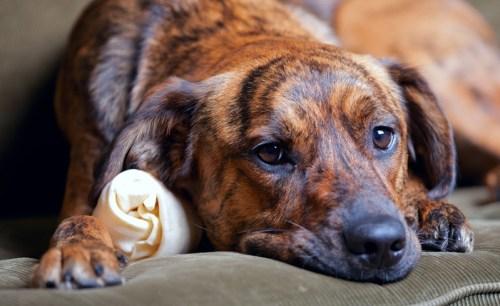 Szomorú kutya (Fotó: wagwalkingweb.com)