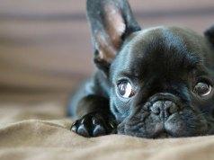francia bulldog kölyök