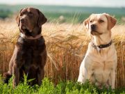 Labrador Retriever kutya