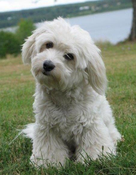 bichon-havanese kutya