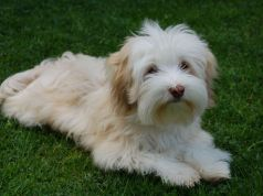 bichon havanese kutya
