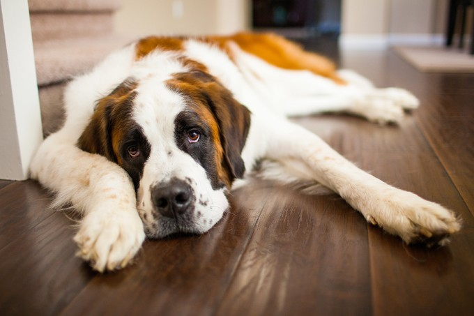 Nyugodt kutyafajták, akik csak akkor ugatnak, ha valóban szükséges