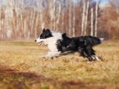 legokosabb kutyafajta border collie
