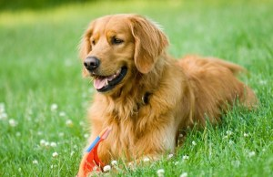 golden retriever kutya