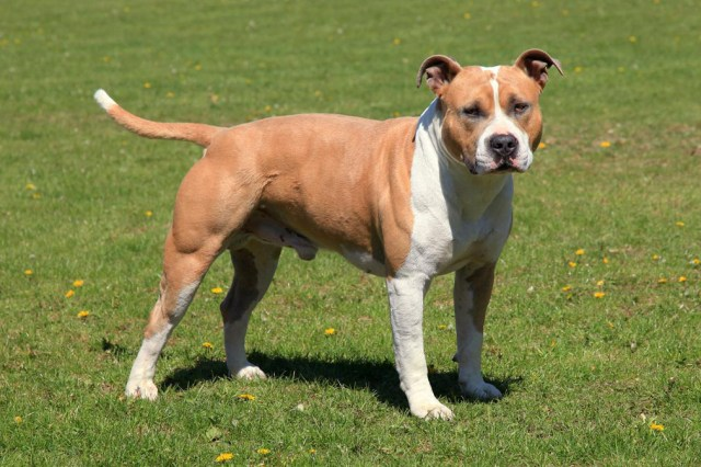 stafforshire terrier