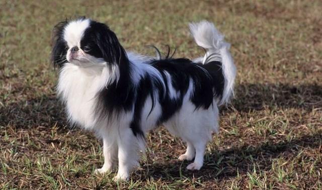 japán chin nyugodt kutyafajta