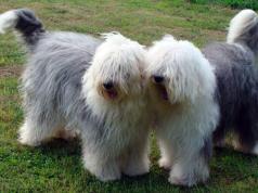 bobtail kutya