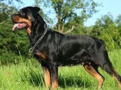 Rottweiler név