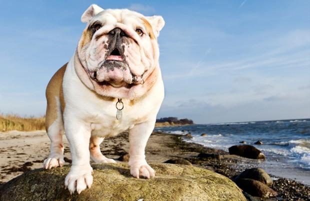 angol bulldog jellemzői