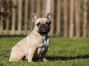 francia bulldog nevek