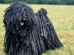 puli kutya nevek