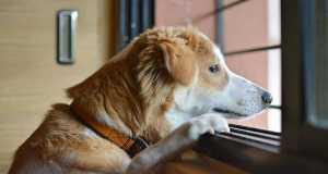 d449e4c8f7 Tacskó kutya - Dachshund - fajtaleírás, jellemzői, tartása képekkel
