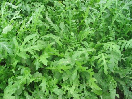 Slika 2a (Diplotaxis tenuifolia)