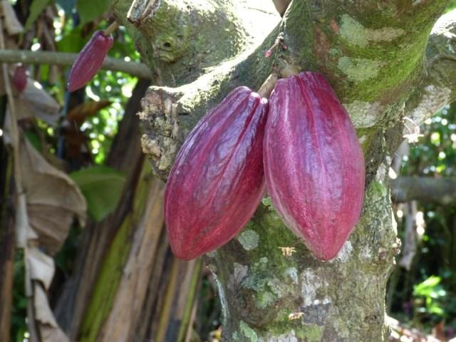cocoa-285035_1920
