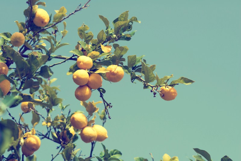 lemons on a lemon tree - cross-processed